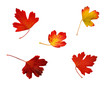 Set of red autumn oak leaves