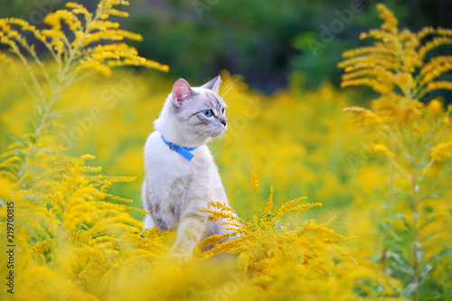 Fotografering Cat with blue eyes wearing collar looking to yellow flowers