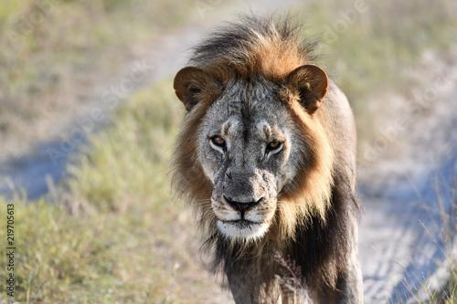 Zdjęcie XXL Löwe w Botswanie - Moremi Reserve w Okavango Delta
