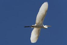 White Heron Stort  Flying In T...
