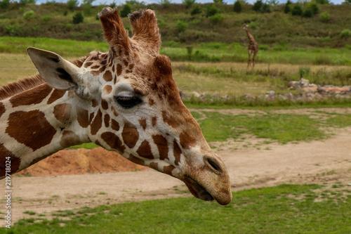 Photo  Giraffe on a Sunny Day