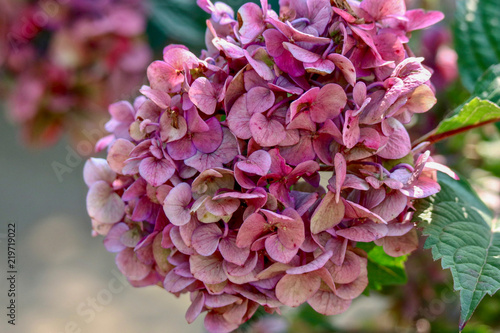 Beautiful closeup of Pink Hydrangea in full bloom