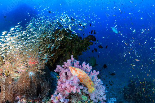 Foto op Aluminium Onder water A colorful Coral Grouper swimming along a tropical reef