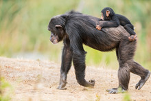 Common Chimpanzee With A Baby ...