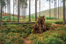 Fallen Tree With Roots In Forest After Storm