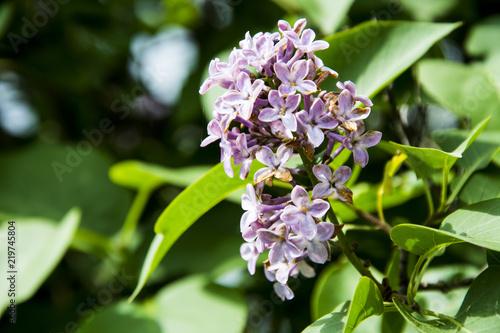 Fototapeta Lilac obraz