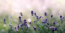 Lavender Flowers In Summer Morning