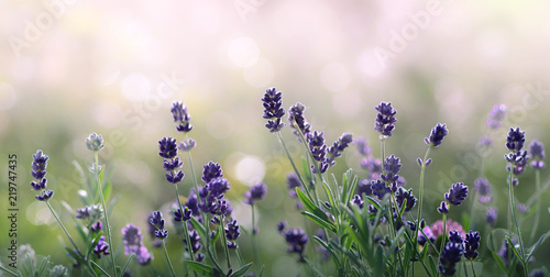 fototapeta na lodówkę Lavender flowers in summer morning