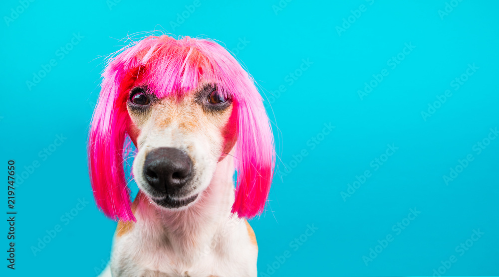 Dog in pink wig looking with contempt and suspicion. Tongue. Funny muzzle portrait. Blue background.