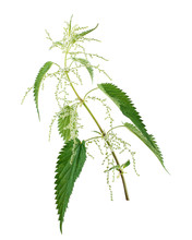 Branch Of Nettle Isolated On White Background