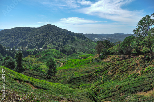 Foto op Canvas Blauw Tea plantations in Cameron Highlands