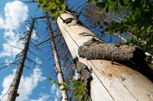 Closeup Of A Pine Log Devastated By Bark Beetle