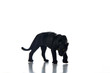canvas print picture - Black panther portrait  white background