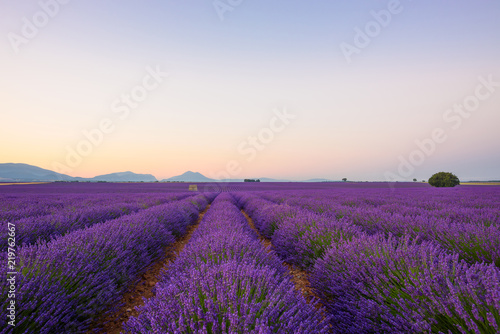 Wall Murals Cappuccino Lavender field at sunrise Valensole Plateau Provence iconic french landscape