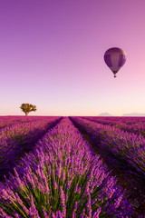 Fototapeta Lawenda Lavender field rows at sunrise hot air baloon and lonely tree at Valensole Plateau Provence iconic french landscape
