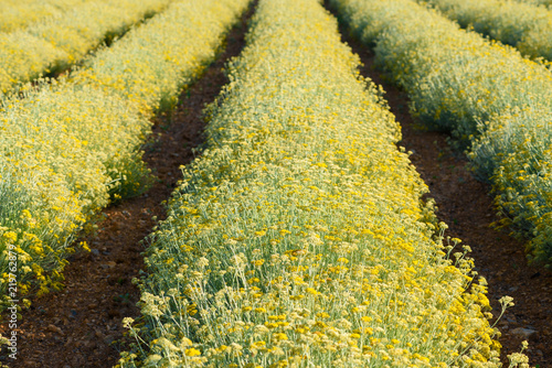 Photo Helichrysum italicum field blooming in Valensole Provence France