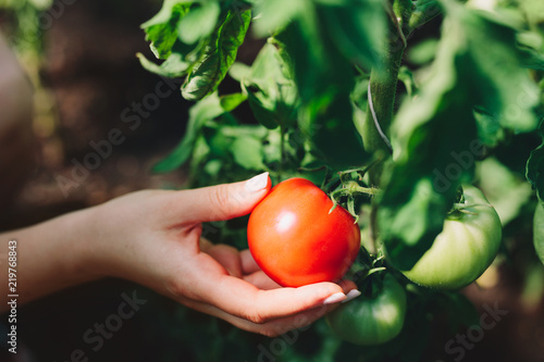 Foto Woman picking tomatoes from a tree.