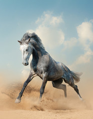 Young gray stallion running on sand