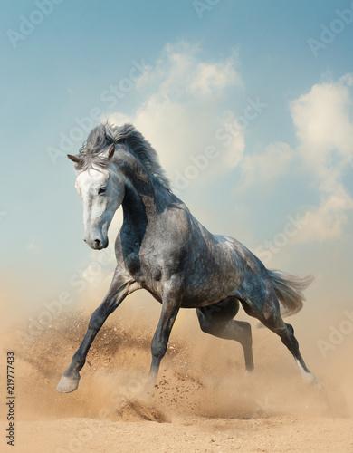 Fototapeta Young gray stallion running on sand obraz