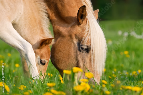 Slika na platnu Haflinger horses, mare and foal grazing together