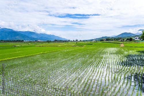Cadres-photo bureau Sauvage Landscape View Of Beautiful Paddy Field (Rice Plantation) At Brown Avenue, Chishang, Taitung, Taiwan