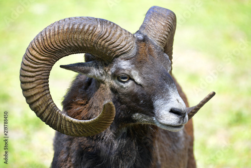 Portrait male mouflon of Corsican (Ovis aries orientalis)