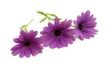 Beautiful Osteospermum Or African Daisy Flower Isolated On White
