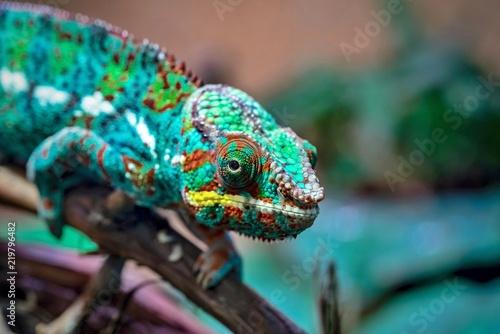 Staande foto Kameleon motley lizard a chameleon in the foreground