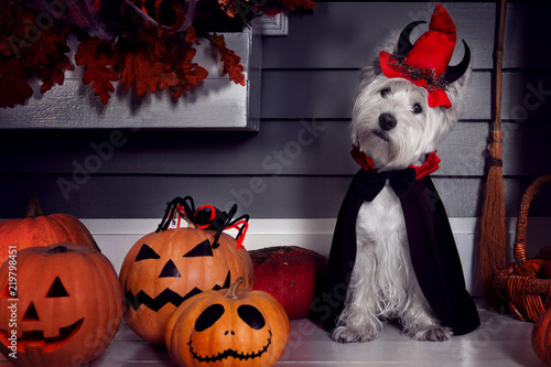Fototapeta Funny west highland white terrier dog in scary halloween costume and red hat with devil horns sitting outdoor with  pumpkins with fear spooky faces and autumns leaves. Halloween night concept. obraz