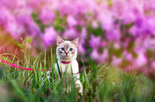 Kitten Walking At The Grass Against Blooming Lilac Bush