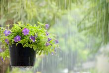 Flower Pot In The Rain