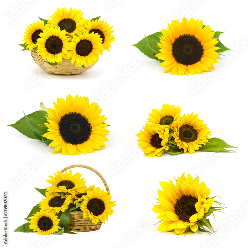 Beautiful sunflowers (Helianthus) - collage