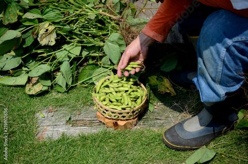 Fotomural  枝豆の収穫