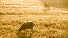 Two Merino Sheep Grazing