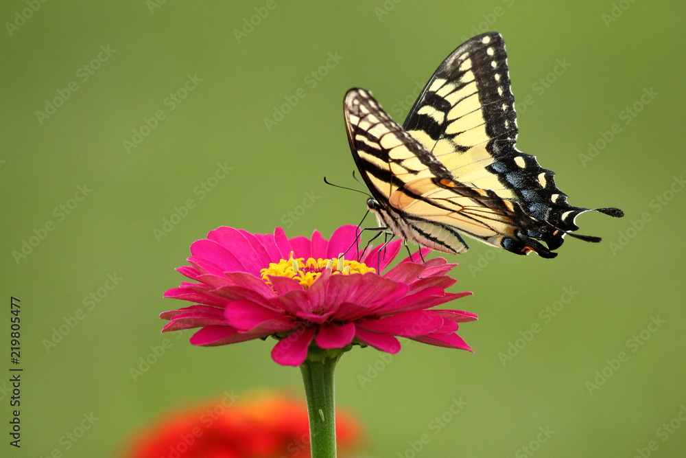 An Eastern Tiger Swallowtail Butterfly feeds on heirloom zinnia flowers in my garden on a warm summer afternoon.