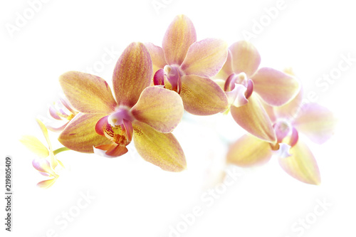 Poster Orchid Orchidee Blüten vor weißem Hintergrund
