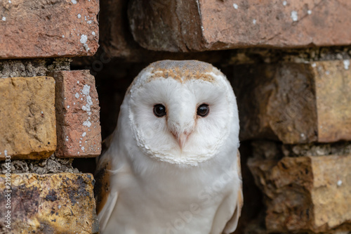 Keuken foto achterwand Uil A cute little Barn Owl hiding in a hole in a brick wall
