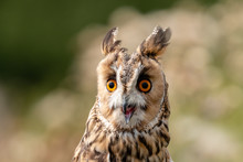 A Slightly Crazy Looking Long Eared Owl Perched On A Wooden Post In A Long, Grassy Meadow