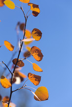 Yellow And Orange Aspen Leaves With Blue Sky In Autumn, Wyoming