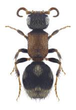 Wasp Smicromyrme Septentrional...