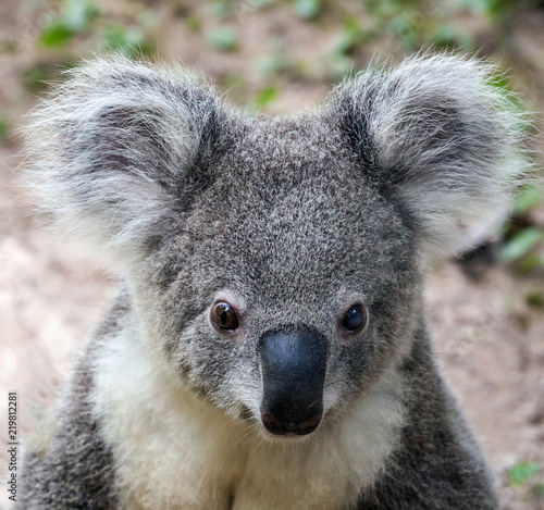 Garden Poster Koala koala bear cute.
