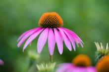 Echinacea Purple. A Perennial ...