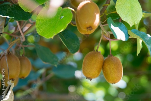 Kiwi fruit on tree on kiwi plantation in Italy