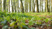 Forest Floor In Germany During Early Spring