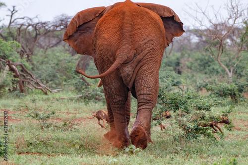 Plakat Byk słonia w must chsing dzikie psy w Zimanga Game Reserve w Republice Południowej Afryki