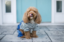 Redhead Cute Trendy Bichon Poodle In Casual Outfit Outside