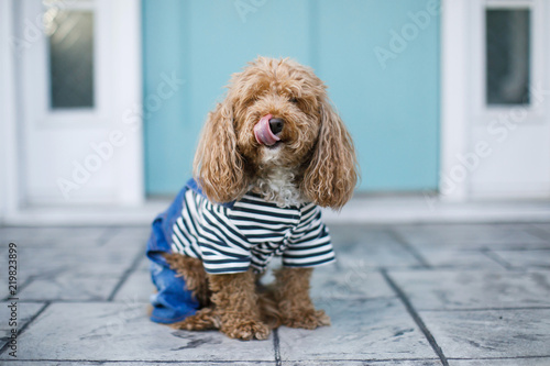 Photo Redhead Cute Trendy Bichon Poodle in Casual Outfit Outside