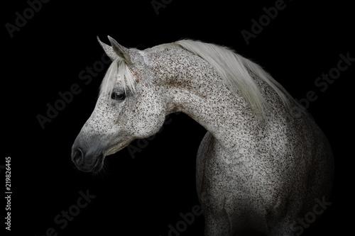 Fototapeta Portrait of a beautiful gray arabian horse isolated on black background obraz