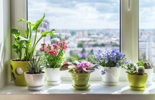 House Plants On Window.  Cactus, Blue Flower, Violet, Carnation, Succulent, Cala. Home Flower Beckground.