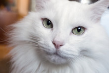 Portrait Of A Young White Cat ...